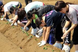 学生がサツマイモ苗を植え付け/地元いも焼酎の原料